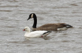 Ross's Goose 4226