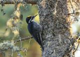 Black-backed Woodpecker 4519