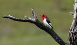 Red-headed Woodpecker 6749