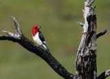 Red-headed Woodpecker - June 2012