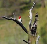 Red-headed Woodpecker 6661