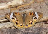 Common Buckeye 7801