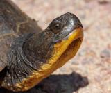 Blanding's Turtle 5955