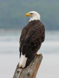 Bald Eagle 9818
