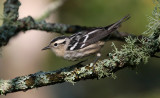 Black-and-white Warbler 9987