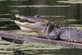 Alligators in the wild..