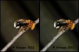 Gehoornde Metselbij - Osmia cornuta 300273