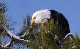 Intensity of a Bald Eagle-6865
