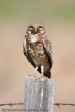 Burrowing Owl with mud on face-1917