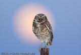 Burrowing Owl evening light and moon-2121