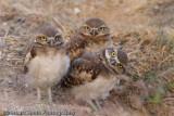 Burrowing Owl Babies-9201