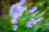Blue Fall Aster