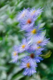 Blue Fall Aster 2