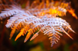 Fern frosted