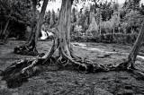 Cedar trees at Gooseberry Falls