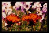 poppies...