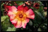 sunrise rose...