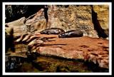 mini hippos...