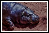 mini hippo at rest...
