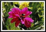 pink dahlia ...