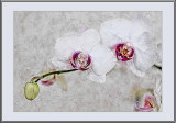 white orchids sketch....