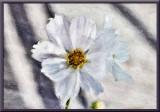 white cosmos....