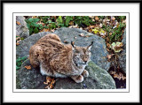 Mother Lynx watching her young...