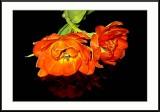 orange double tulips...
