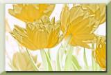 double yellow tulips...