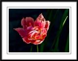 pretty double tulip...