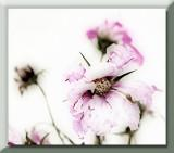 fading pink cosmos...