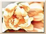 creamy tulips...