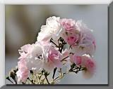 pink to white roses...