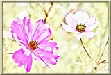 pink cosmos...