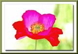 bright and cheerful poppy...