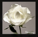 smudged-white-rose