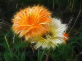 two marigolds