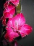 pink gladiolis