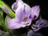 lilac gladioli.