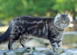 Tiger the farm cat