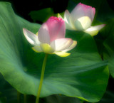 The awakening of the lotus flowers
