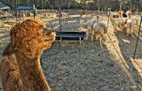 The Alpaca farm.