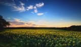 Sunset at Buttonwoods sunflower farm.