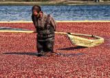 Harvesting the cranberrys