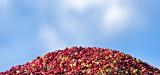 New England cranberry harvest