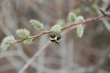 Bee On Catkin
