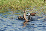 B - w__Teal (Male flapping)