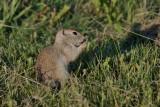 R_G__Squirrel