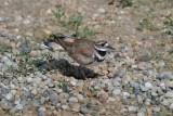 Killdeer at Nest ?