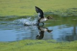 A Running Start (Scaup)